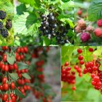What Fruits Grow on Bushes?