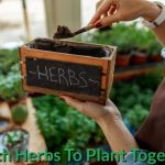 Which Herbs To Plant Together?