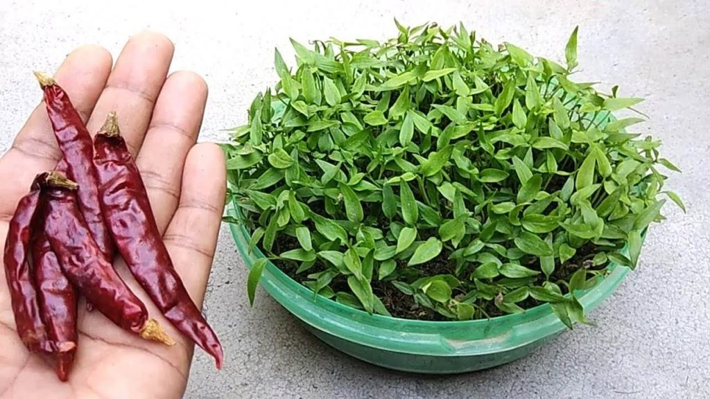 Steps on growing chilli from dried seed.