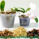 Best Potting Mixes for Phalaenopsis Orchid