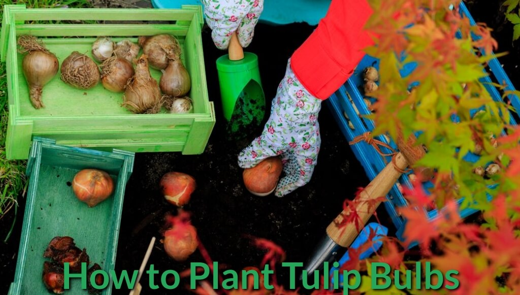 Planting Tulip bulbs on the ground.