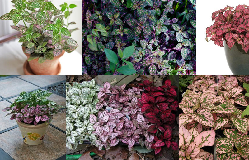 Different colors of polka dot plants.