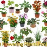 Best Flowering Plants For Pots